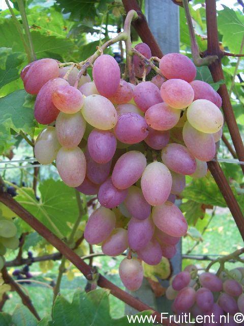 Druiven FruitLent