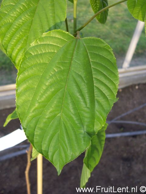 rozijnenboom1