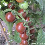 brown_cherry