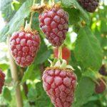 buckingham_tayberry1