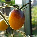 indigo_kumquat3