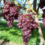 Druiven FruitLent Kalina