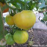 yellow garden peach